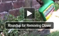 Roundup for Removing Clover